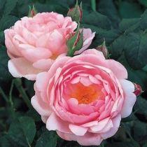 Rosier anglais Austin \'Scepter\'d Isle\' ®ausland, arbuste au feuillage caduc vert foncé et aux fleurs rose tendre au printemps.