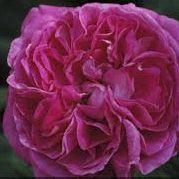 Rosier anglais Austin \'Sir Edward Elgar\' ® ausprima, arbuste au feuillage caduc vert foncé et aux fleurs cerise cramoisi en été.