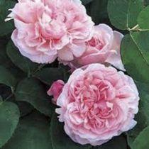 Rosier anglais Austin \'Strawberry Hill\' ® ausrimini, arbuste au feuillage caduc vert foncé et aux fleurs rose en été.