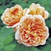 Rosier anglais Austin \'Tea Clipper\' ®ausrover, arbuste au feuillage caduc vert foncé et aux fleurs abricot saumon au printemps.