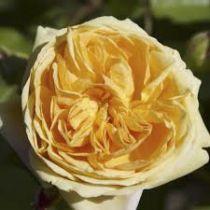 Rosier anglais Austin \'Teasing Georgia\' ®ausbaker, arbuste au feuillage caduc vert foncé et aux fleurs jaune au printemps.