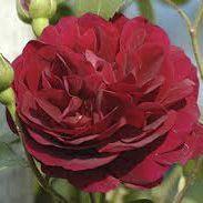 Rosier anglais Austin \'Tess of The d\'Ubervilles\' ®ausmove, arbuste au feuillage caduc vert foncé et aux fleurs rouge cramoisi en été.