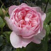Rosier anglais Austin \'The Alnwick Rose\' ® ausgrab, arbuste au feuillage caduc vert foncé et aux fleurs rose tendre au printemps.