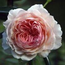 Rosier anglais Austin \'William Morris\' ®auswill, arbuste caduc au feuillage vert foncé et aux fleurs rose abricot en été.