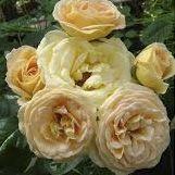 Rosier anglais Edirose \'Hyde Park\' ®harfizz, arbuste au feuillage caduc vert foncé et aux fleurs rose saumoné en été.