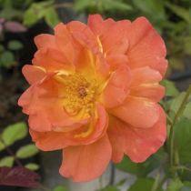 Rosier arbustif \'Westerland\', arbustif au feuillage caduc vert foncé et aux fleurs abricot rougeâtre au printemps.