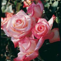 Rosier buisson grande fleur Gemini