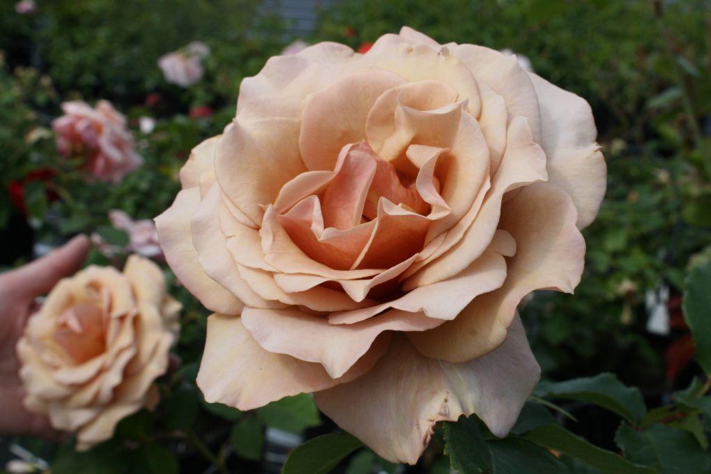 rosier buisson petite fleur moka rosa grandiflora. Black Bedroom Furniture Sets. Home Design Ideas