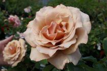 Rosier buisson petite fleur \'Moka Rosa\'
