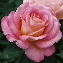 Rosier grimpant \'Astrée\', caduc au feuillage vert foncé et aux fleurs rose tendre en été.