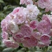 Rosier grimpant \'Belle de Sardaigne\' ®masflesa, grimpant au feuillage caduc vert-gris et aux fleurs rose au coeur lilas en été.