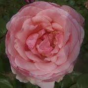 Rosier grimpant \'Carla\', grimpant au feuillage vert foncé et aux fleurs rose saumon en été.