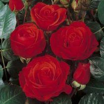 Rosier grimpant \'Chorus\' ®meiju litasar, grimpant au feuillage caduc vert foncé et aux fleurs rouge en été.