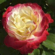 Rosier grimpant \'Double Delight\' ®aroclyd, grimpant au feuillage caduc vert foncé et aux fleurs crème ourlé de rouge en été.