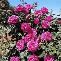 Rosier grimpant \'Lolita Lempicka\' ®meizincarosar, grimpant au feuillage caduc vert foncé et aux fleurs rose magenta en été.