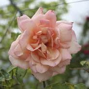 Rosier grimpant \'Michèle Meilland\', grimpant au feuillage caduc vert foncé et aux fleurs rose nacré en été.