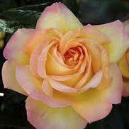 Rosier grimpant \'Mme A Meilland\', grimpant au feuillage caduc vert foncé et aux fleurs jaune cuivré bordé de rose carmin en été.