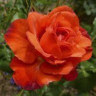 Rosier grimpant \'Orange Sensation\', grimpant au feuillage caduc vert clair et aux fleurs orange en été.