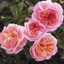 Rosier grimpant \'Pirouette\' ®poulyc003, grimpant au feuillage caduc vert foncé et aux fleurs abricot teinté de rose en été.