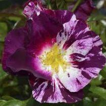 Rosier grimpant \'Purple Splash\' ®wekspitrib, grimpant au feuillage caduc vert et aux fleurs violette strié de blanc en été.
