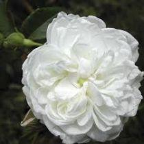 Rosier grimpant ancien \'Aimée Vibert\', grimpant ancien au feuillage caduc vert foncé et aux fleurs blanc pur en été.