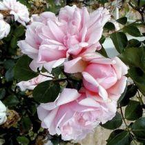 Rosier grimpant ancien \'Albertine\', grimpant ancien au feuillage caduc vert foncé et aux fleurs rose clair en été.