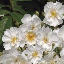 Rosier grimpant ancien \'Bobbie James\', grimpant ancien au feuillage caduc vert et aux fleurs blanche en été.