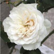 Rosier grimpant ancien \'Sombreuil\', grimpant ancien au feuillage caduc vert et aux fleurs blanc pur en été.