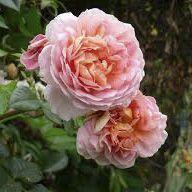 Rosier grimpant ancien \'Souvenir d\'Angélique\', grimpant ancien au feuillage caduc vert foncé et aux fleurs rose en été.