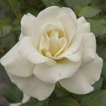 Rosier palace \'Hampton Palace\' ®poulgret, palace au feuillage caduc vert foncé et aux fleurs blanche en été.