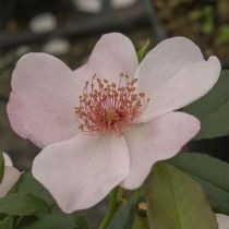 Rosier polyantha \'Astronomia\' ®meiguimov, polyantha au feuillage caduc vert foncé et aux fleurs rose clair au printemps.