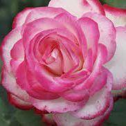 Rosier polyantha \'Jubilé Prince Monaco\' ®meisponge, polyantha au feuillage caduc vert clair et aux fleurs blanche bordé en été.