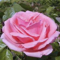 Rosier polyantha \'Kimono\', polyanthas au feuillage caduc vert clair aux fleurs rose clair nuancé de saumon en été.