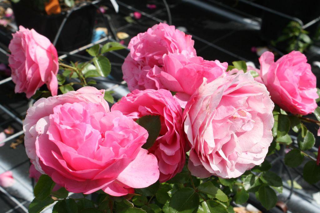 rosier polyanthas 39 l onard de vinci 39 maselpy grandiflora. Black Bedroom Furniture Sets. Home Design Ideas