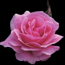 Rosier polyantha \'Queen Elisabeth\', polyanthas au feuillage caduc vert foncé et aux fleurs rose en été.