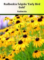 Rudbeckia fulgida \' Early Bird Gold \'
