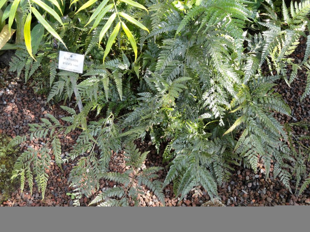 Rumohra aristata 39 variegata 39 ou foug re for Soldes plantes vivaces