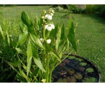 Sagittaria japonica \'Flore Pleno\'