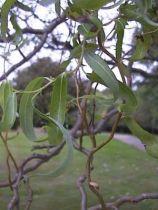 Salix_madtsudana_\'tortuosa\'_(feuilles,rameaux)
