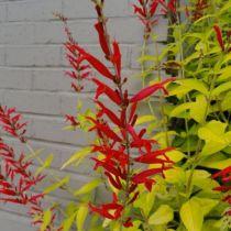 Salvia elegans \' Golden Delicious \'