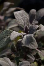 Salvia officinalis \' Purpurea \'