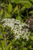 Sambucus nigra, arbuste caduc au feuillage vert et à la floraison en ombelles blanches en début d\'été suivi de fruits noirs.