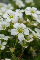 Saxifraga arendsi \'Alba\', vivace persistante au feuillage vert et aux petites fleurs blanches au printemps.