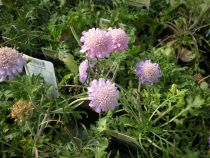 Scabiosa  columbaria \' Butterfly blue \'