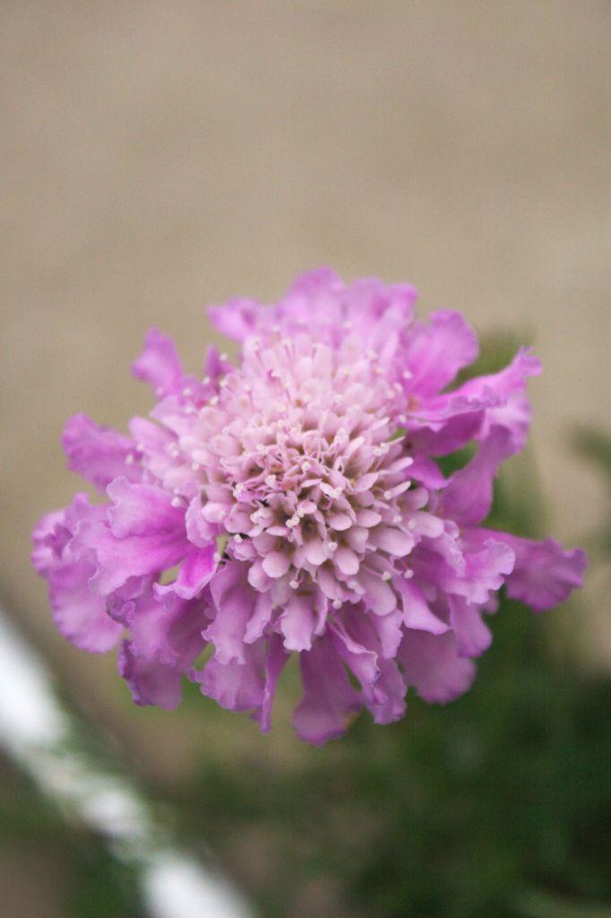 Scabiosa columbaria  \' Pink Mist \'