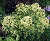 Sedum \'Sunkissed\'