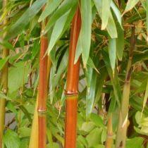 Bambou semiarundinaria fastuosa