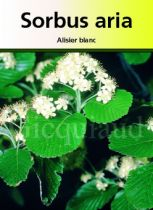 Sorbus aria, arbre caduc au feuillage vert et aux fleurs blanche au printemps.