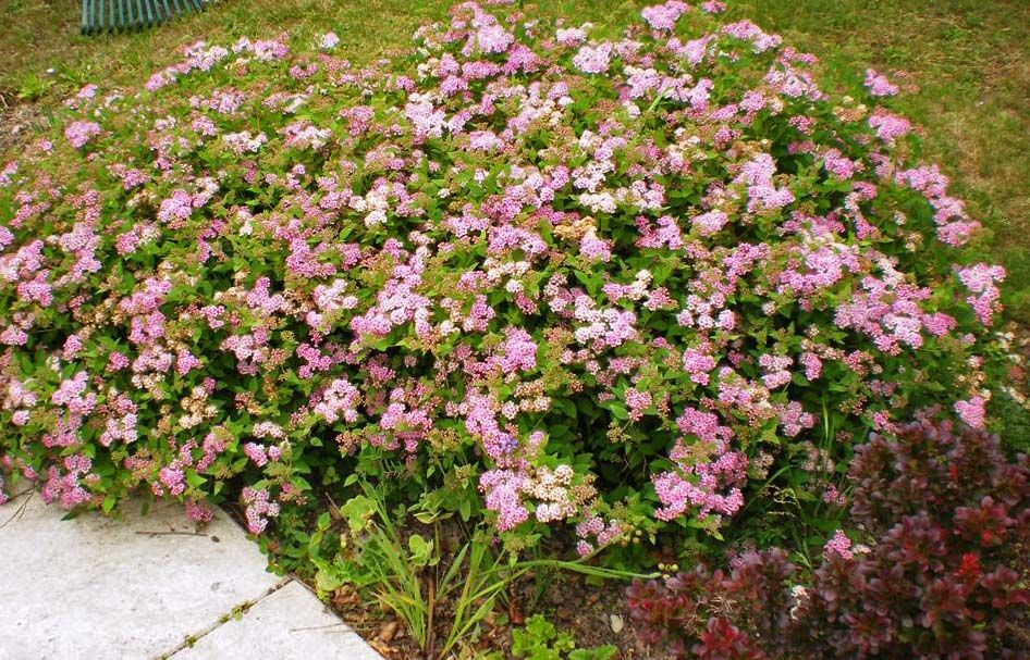 Spirea japonica \' little Princess \'