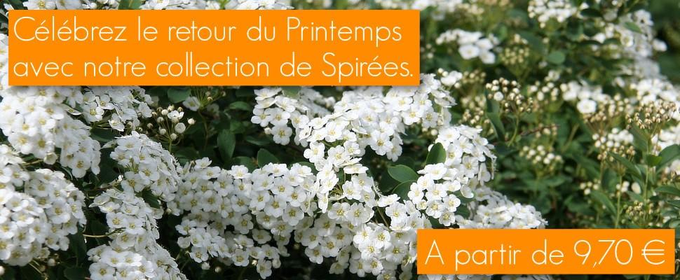 Spirées de printemps ou d'été : arbustes caducs aux longues floraisons blanches ou roses.